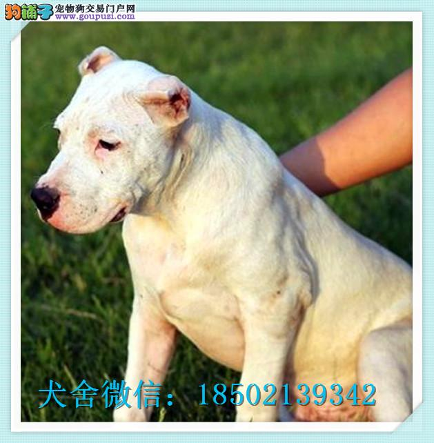 cku认证犬舍出售高品质杜高 签协议证件齐全