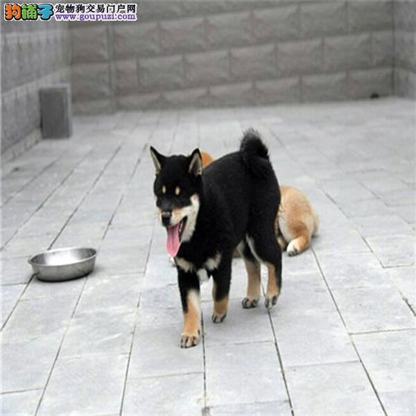 cku认证犬舍出售高品质柴犬 签协议证件齐全