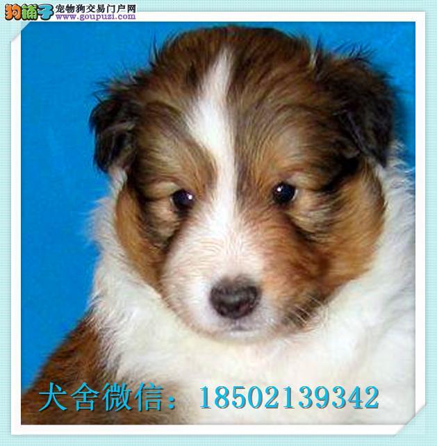 cku认证犬舍出售高品质喜乐蒂 签协议证件齐全