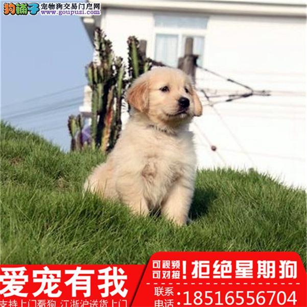 专业繁殖(金毛幼犬)可来基地挑选。签协议保健康