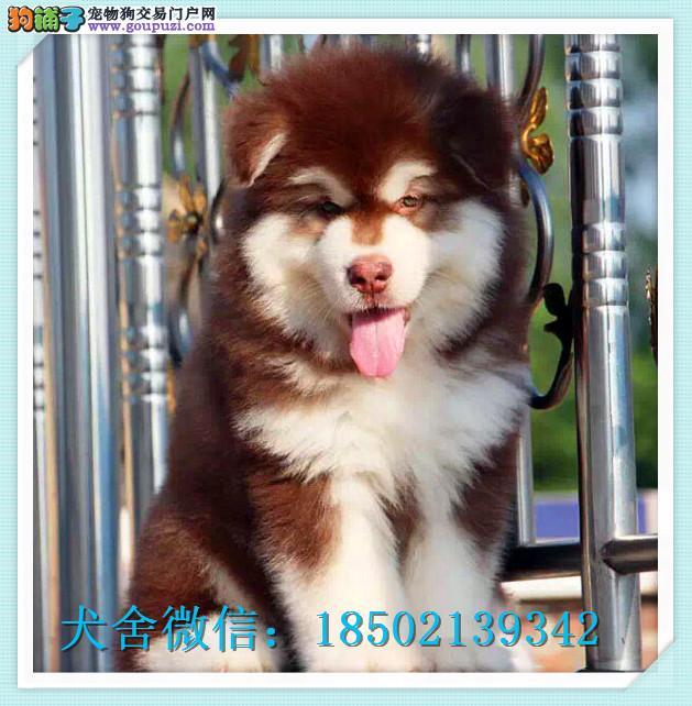 犬舍直销阿拉斯加犬一签协议一包养活一三个月可退换
