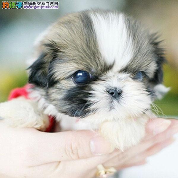 cku认证犬舍十二年繁育精品西施犬养