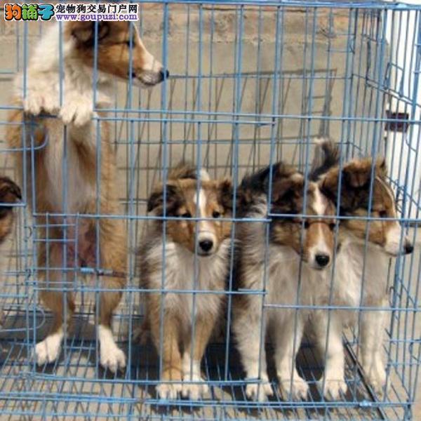 cku认证犬舍十二年繁育精品苏格兰牧羊犬开始
