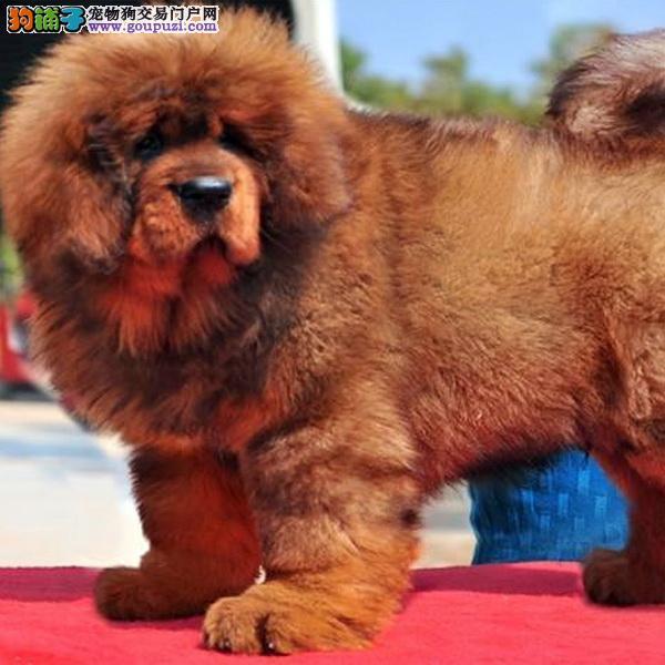 cku认证犬舍出售高品质藏獒 签协议证件齐全