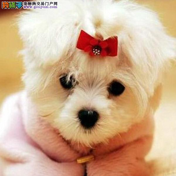 cku认证犬舍十二年繁育马尔济斯犬