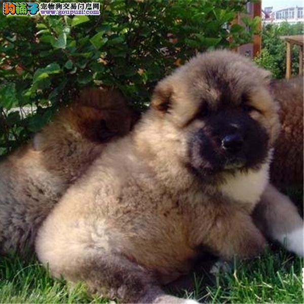 cku认证犬舍出售高品质 高加索签协议证件齐全