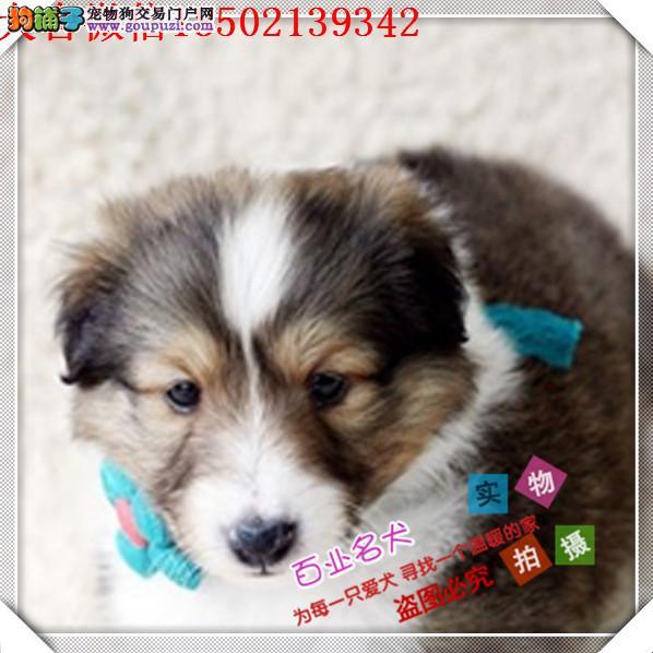 cku认证犬舍出售高品质 西乐蒂签协议证件齐全
