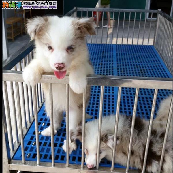 cku认证犬舍十二年繁育精品边牧