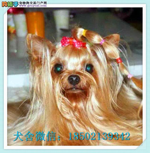 cku认证犬舍出售高品质约克夏 签协议证件齐全