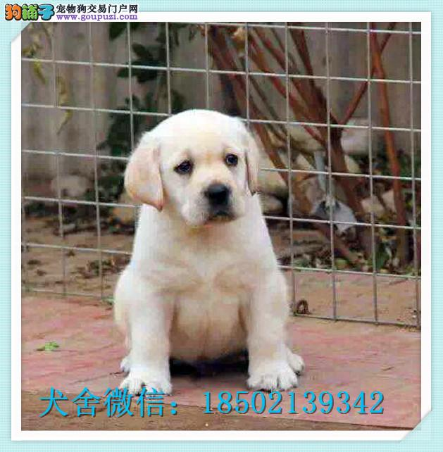 纯种神犬小七拉布拉多幼犬出售 品相好头版大