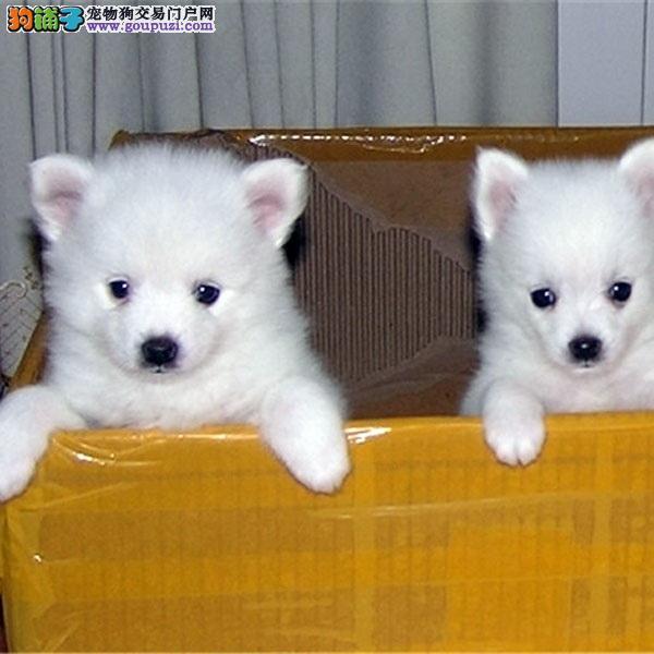 超萌银狐犬、价格优惠 品质保障 包健康品质保证