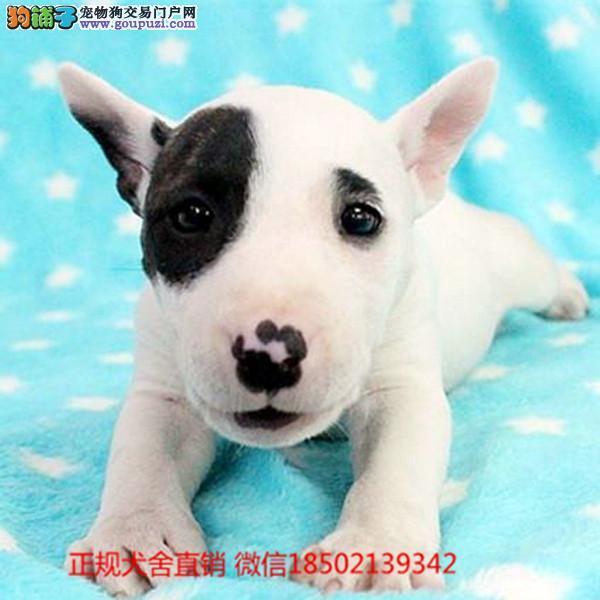 牛头梗cku认证犬舍十二年繁育精品养宠从遇见百业开始