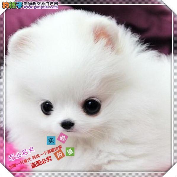 博美 cku认证犬舍十二年繁育精品养宠从遇见百业开始