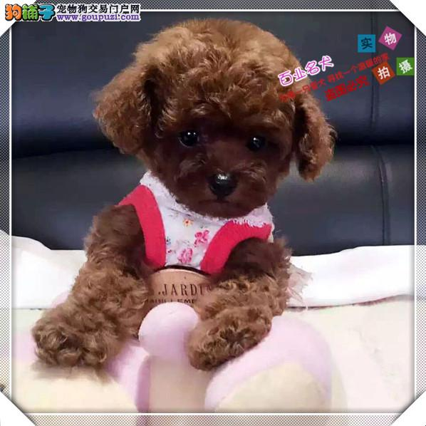 cku认证犬舍出售高品质泰迪 签协议证件齐全