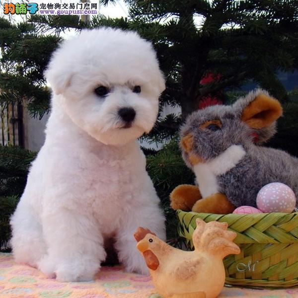 cku认证犬舍出售高品质比熊 签协议证件齐全