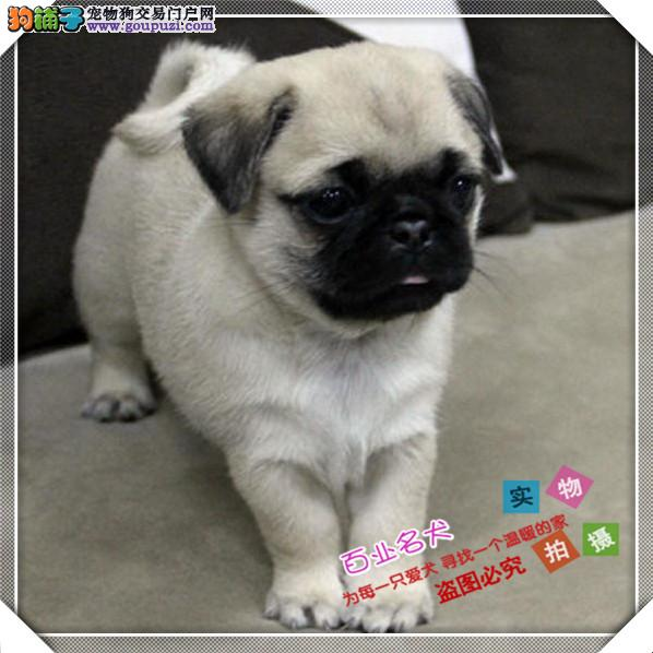 cku认证犬舍出售高品质巴哥 签协议证件齐全