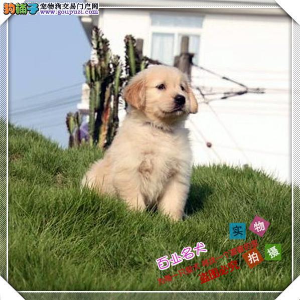 金毛 cku认证犬舍十二年繁育精品养宠从遇见百业开始