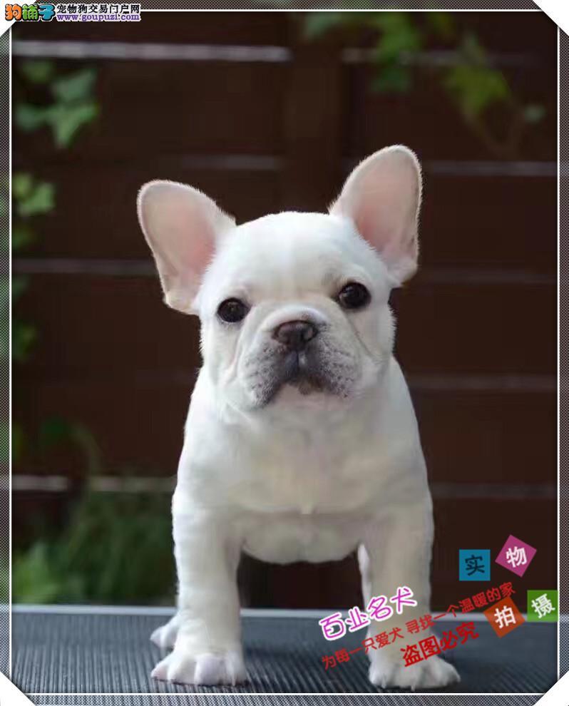 法斗 cku认证犬舍十二年繁育精品养宠从遇见百业开始