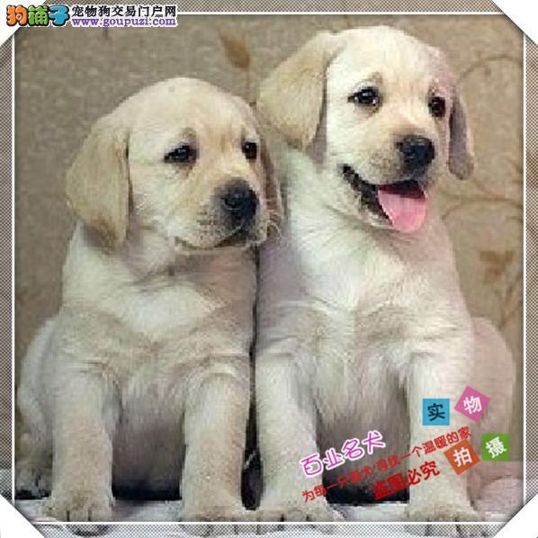 cku认证犬舍出售高品质拉布拉多 签协议证件齐全