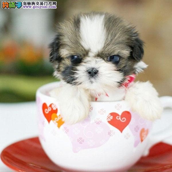 西施 cku认证犬舍十二年繁育精品养宠从遇见百业开始