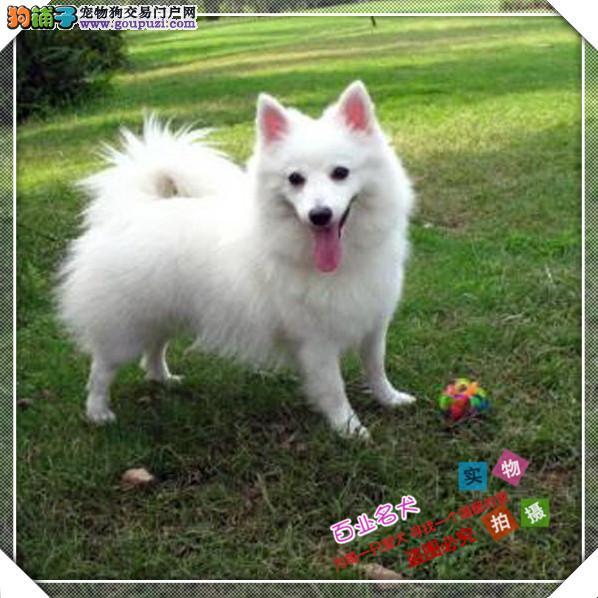 cku认证犬舍出售高品质银狐 签协议证件齐全
