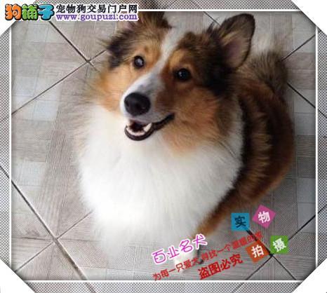 喜乐蒂cku认证犬舍十二年繁育精品养宠从遇见百业开始