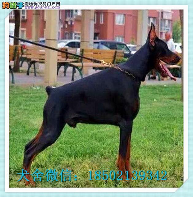百业名犬专业繁育高品质杜宾包纯种健康全国当天到货