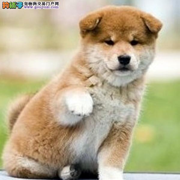 南昌大型犬舍低价热卖极品柴犬下单有礼全国包邮