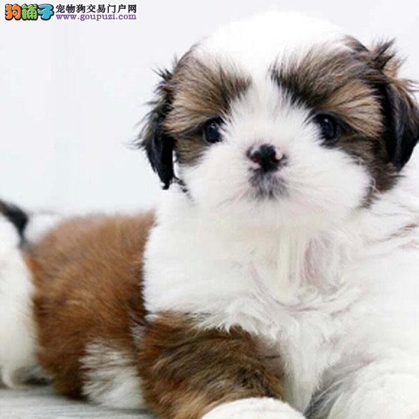 百业名犬专业繁育高品质西施犬纯种健康全国当天到货