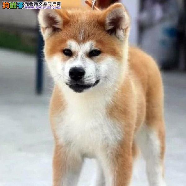 百业名犬专业繁育高品质秋田包纯种健康全国当天到货