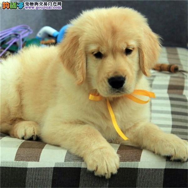百业名犬专业繁育高品质包金毛纯种健康全国当天到货