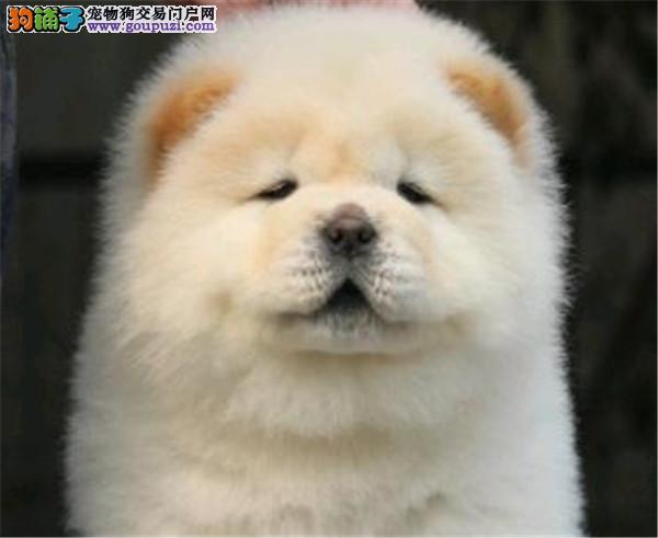 百业名犬专业繁育高品质松狮犬包纯种健康全国当天到货
