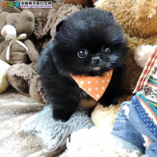 百业名犬专业繁育高品质博美包纯种健康全国当天到货