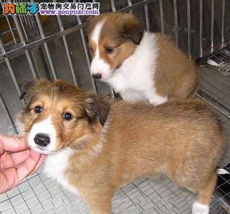 百业名犬专业繁育高品质喜乐蒂包纯种健康全国当天到货