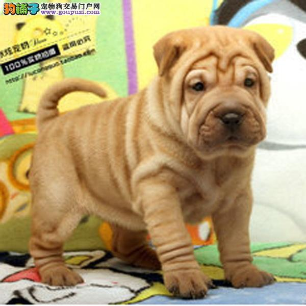 百业名犬专业繁育高品质沙皮狗包纯种健康全国当天到货