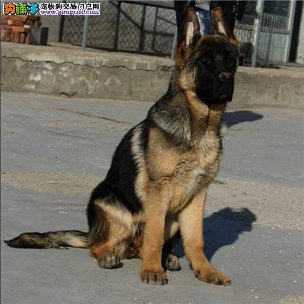 cku认证犬舍出售高品质德牧 签协议证件齐全