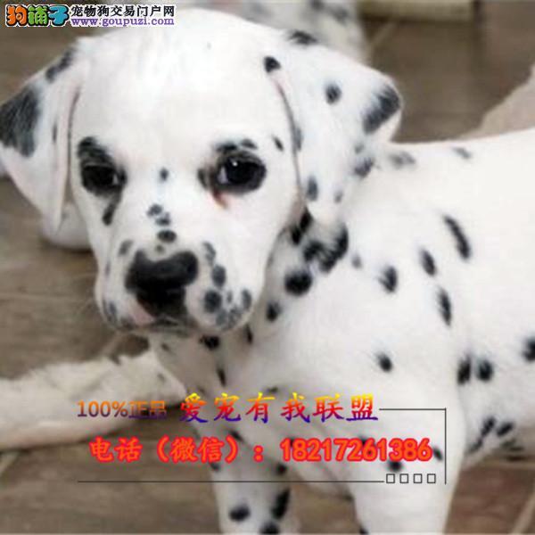 斑点狗 养殖场直销品种齐全签订保障协议