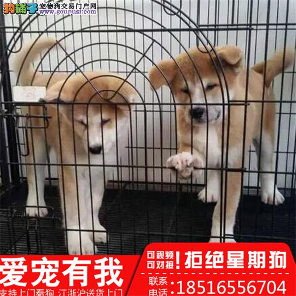 秋田犬养殖场直销品种齐全签订保障协议