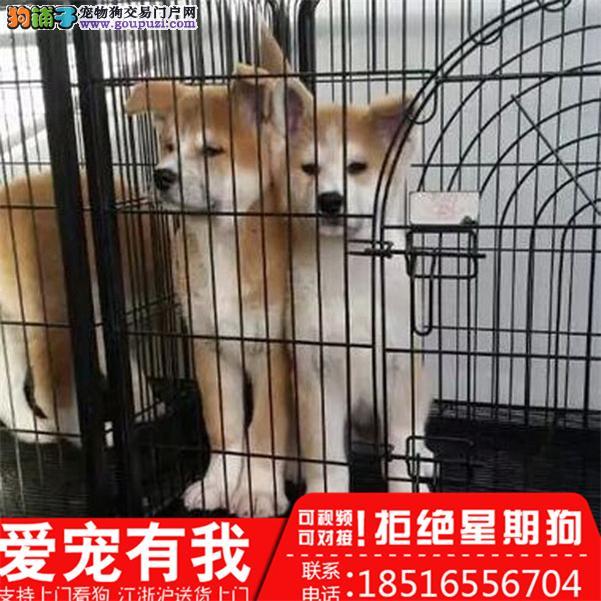 秋田犬养殖场直销品种齐全包健康签订保障协议