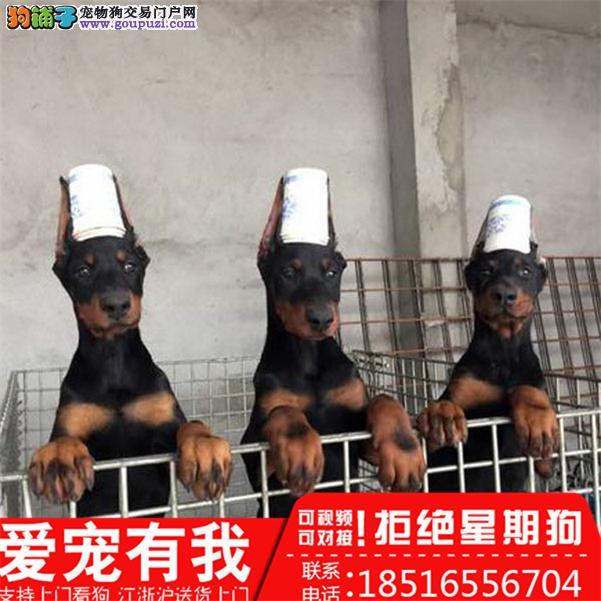 杜宾犬养殖场直销品种齐全包健康签订保障协议