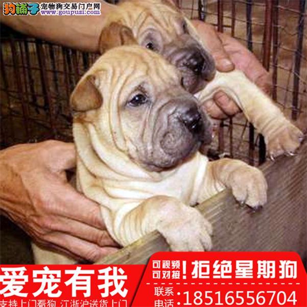 沙皮犬 养殖场直销品种齐全包健康签订保障协议