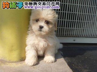 百业名犬专业繁育高品质西施犬包纯种健康全国当天到货