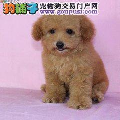 百业名犬专业繁育高品质贵宾包纯种健康全国当天到货