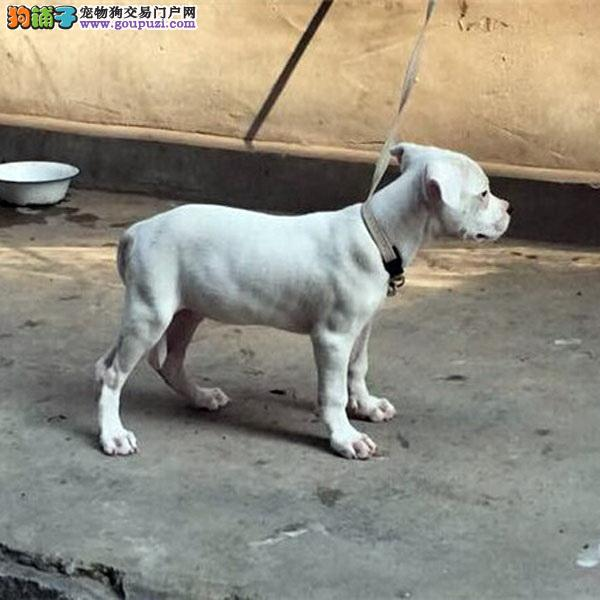 CKU认证犬舍十二年繁育精品杜高犬