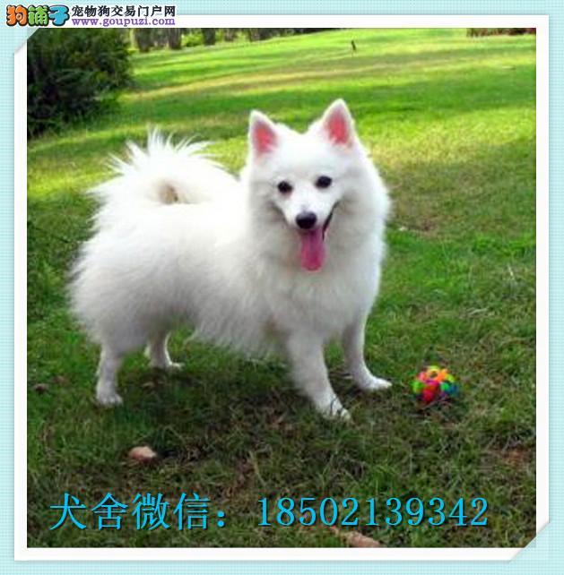 CKU认证犬舍十二年繁育精品银狐犬养宠从遇见它开始