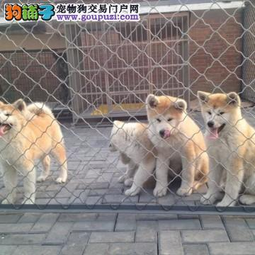 CKU认证犬舍十二年繁育精品秋天犬