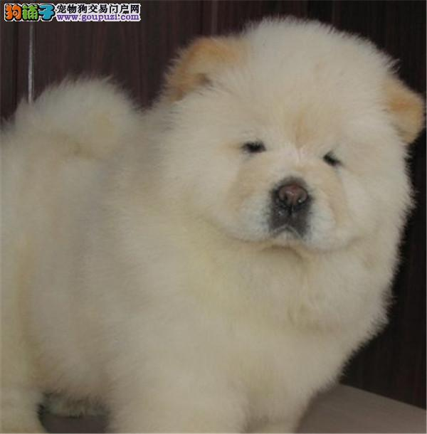 cku认证犬舍出售高品质 松狮签协议证件齐全