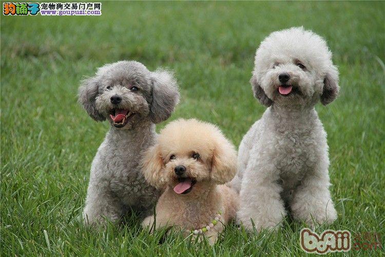 cku认证犬舍出售高品质 贵宾犬签协议证件齐全