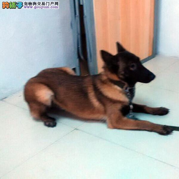 CKU认证犬舍十二年繁育精品马犬养宠