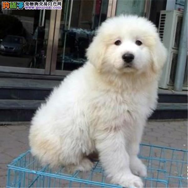 CKU认证犬舍十二年繁育精品大白熊养宠从遇见它开始